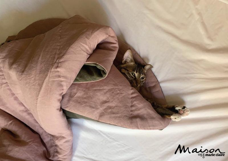 고양이, 코숏, 반려묘